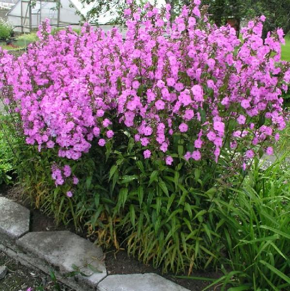 Graines phlox vivace parfum des couleurs et des fleurs for Entretien plantes vivaces