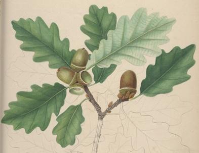 La feuille de chêne marcescente