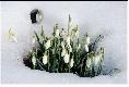 la feuille de perce-neige
